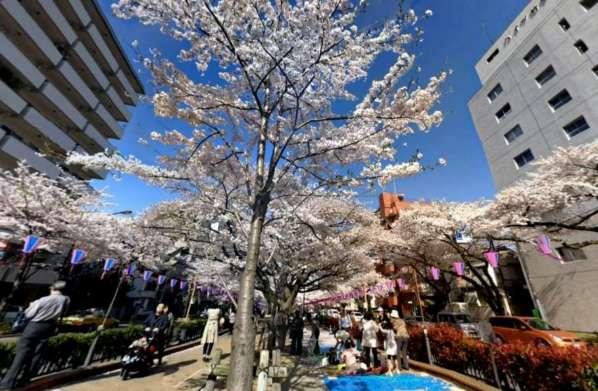グリーンヒル小石川-播磨坂桜並木