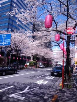 中野通りの桜
